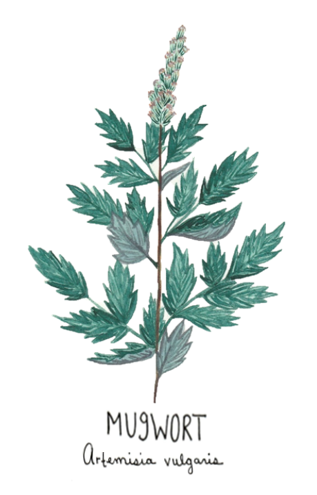 Mugwort - Image for LCDLL - 2.10.2019