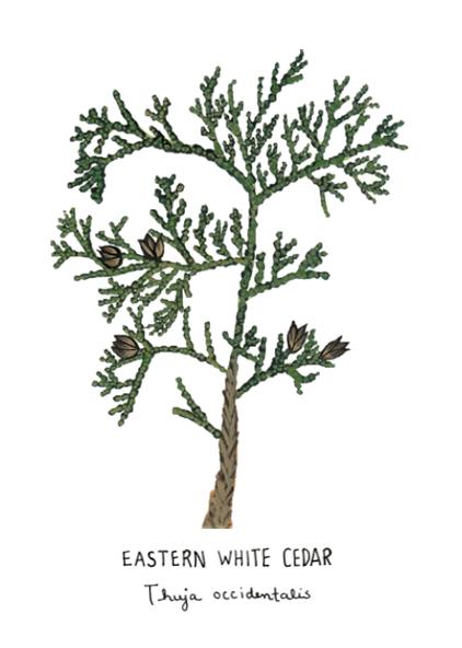 White Cedar - Image for LCDLL - 2.15.2019