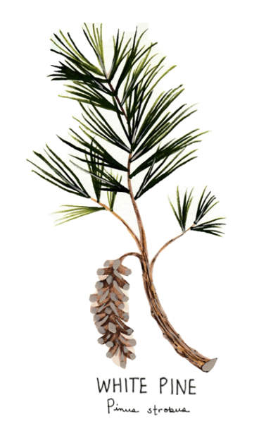 White Pine - Image for LCDLL - 2.10.2019